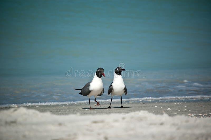 Gabbiani di risata su una spiaggia della Florida fotografia stock