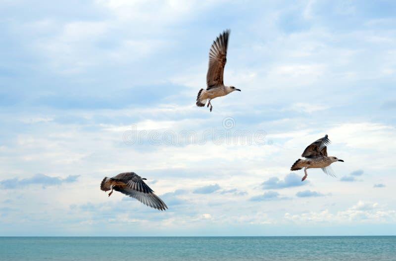 Gabbiani di volo sopra il mare calmo immagini stock libere da diritti