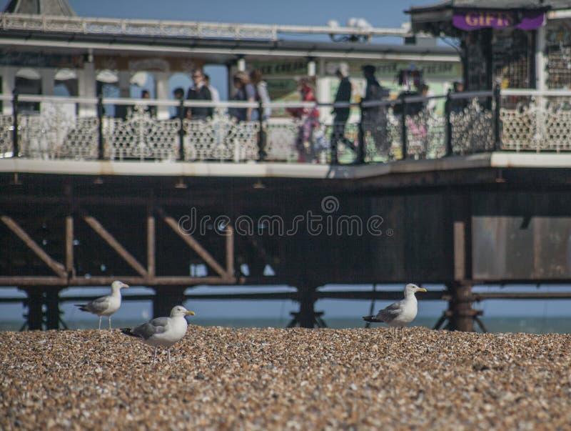 Gabbiani e ciottoli - spiaggia di Brighton ed il pilastro un giorno soleggiato immagini stock