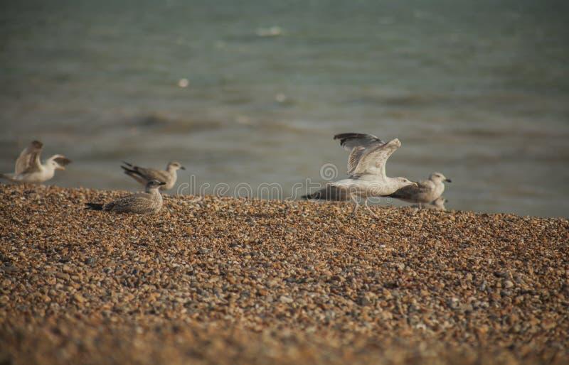 Gabbiani e ciottoli - spiaggia di Brighton di estate immagini stock libere da diritti
