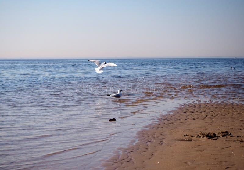 gabbiani Giallo-forniti di gambe sulla spiaggia fotografie stock