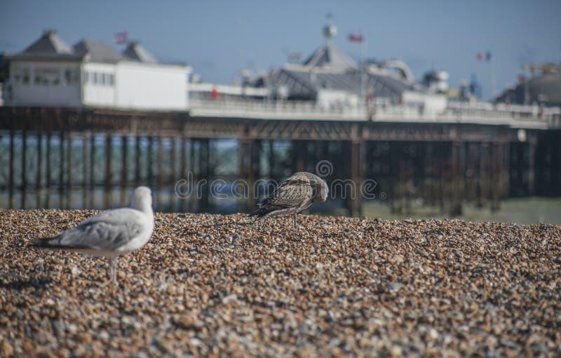 Gabbiani - spiaggia di Brighton ed il pilastro un giorno soleggiato fotografia stock libera da diritti