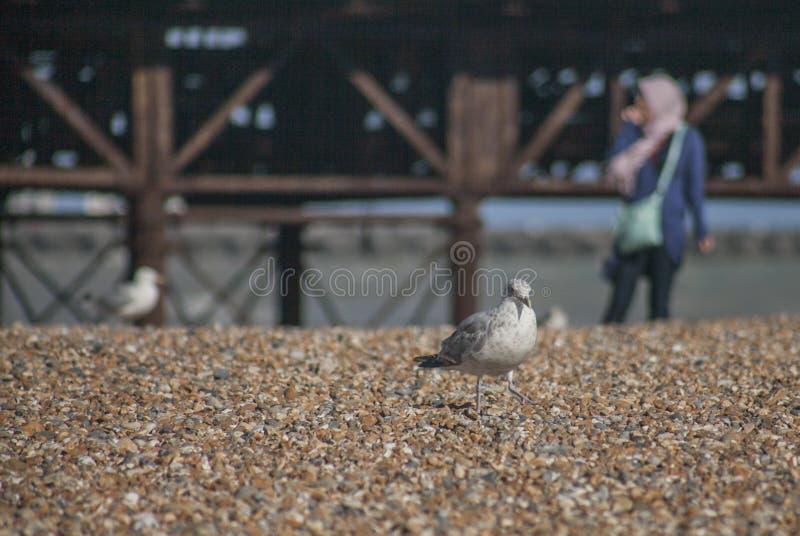 Gabbiani su una spiaggia - Brighton; ciottoli luminosi immagine stock