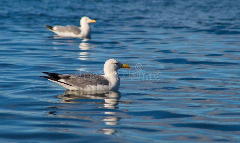 Gabbiani sul lago Baikal fotografia stock