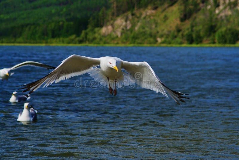 Gabbiani sul lago Baikal immagini stock libere da diritti