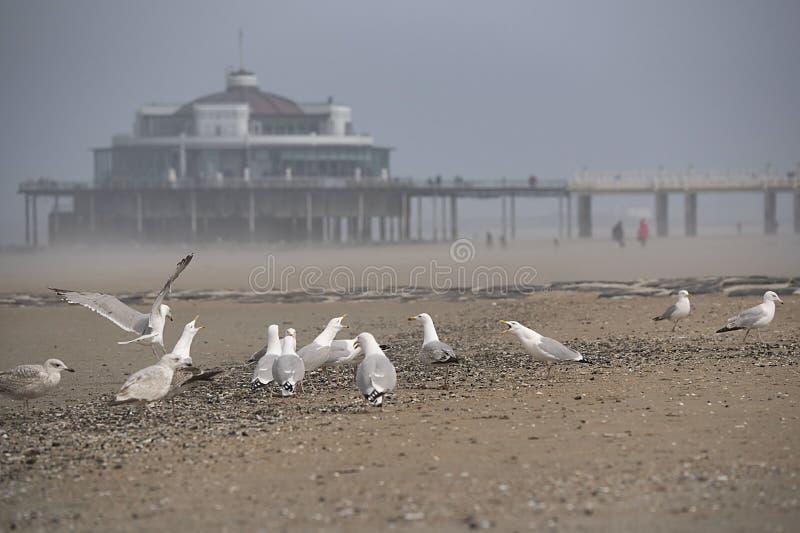 Gabbiani sulla spiaggia con il pilastro, molo in Blankenberge, Belgio immagini stock