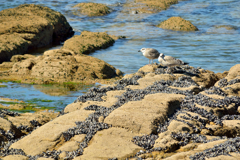 Gabbiani sulle rocce che cercano il loro alimento immagine stock libera da diritti