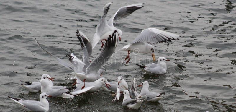 Gabbiani tridattili sul bacino idrico di Shustoke fotografia stock libera da diritti