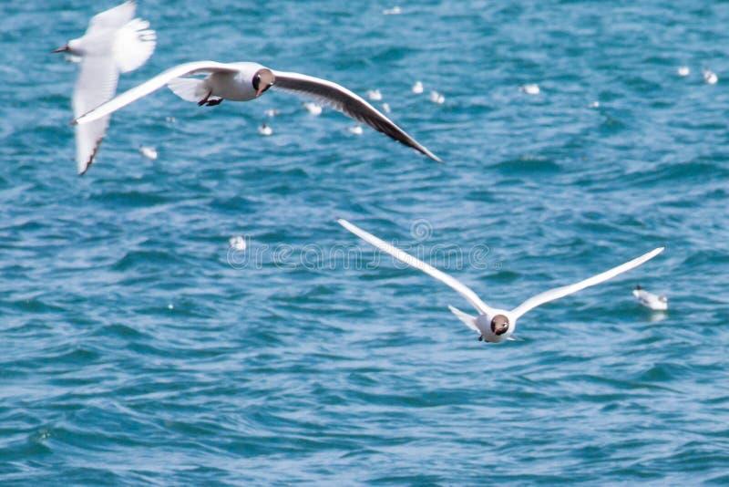 Gabbiani in volo immagini stock