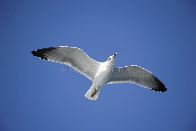 Download Gabbiano immagine stock. Immagine di pesca, litorale, becco - 7302485