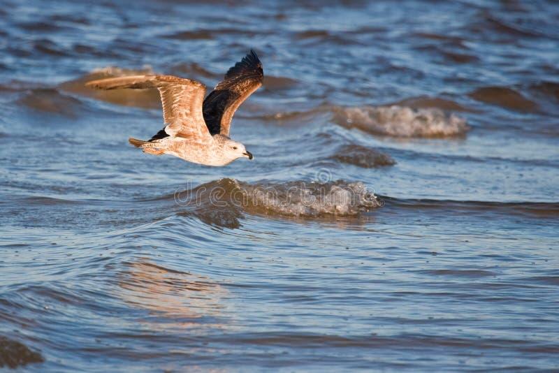 Gabbiano acerbo del kelp fotografia stock libera da diritti
