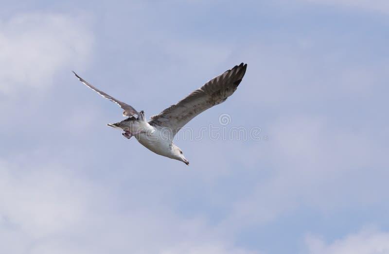 Gabbiano Anello-Fatturato durante il volo fotografia stock