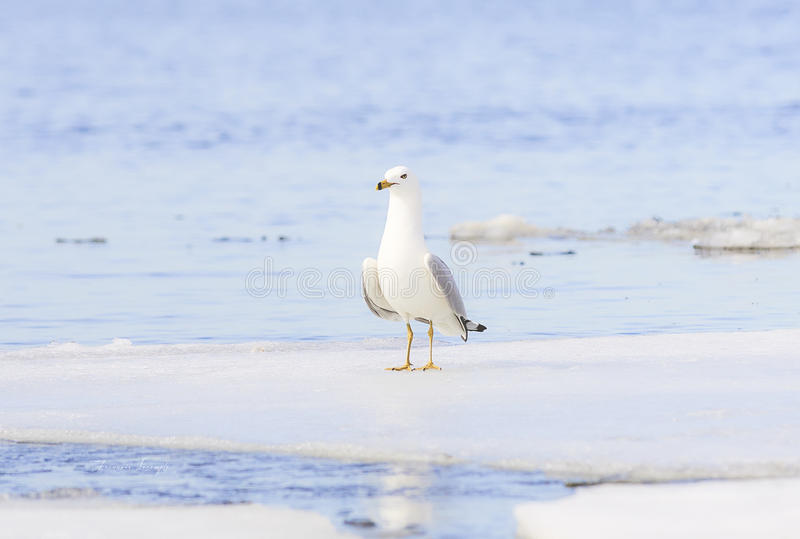 gabbiano Anello-fatturato sul fiume congelato fotografia stock
