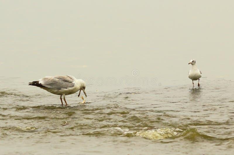 Gabbiano caspico nel posto di pesca fotografia stock libera da diritti