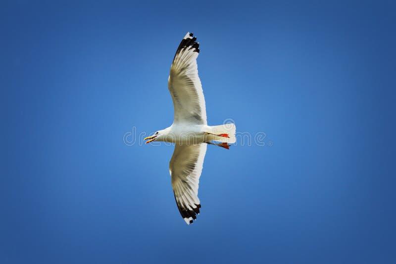 Gabbiano caspico sopra cielo blu variopinto fotografie stock libere da diritti
