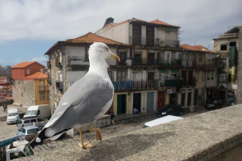 Gabbiano che cammina a Oporto del centro, Portogallo fotografia stock