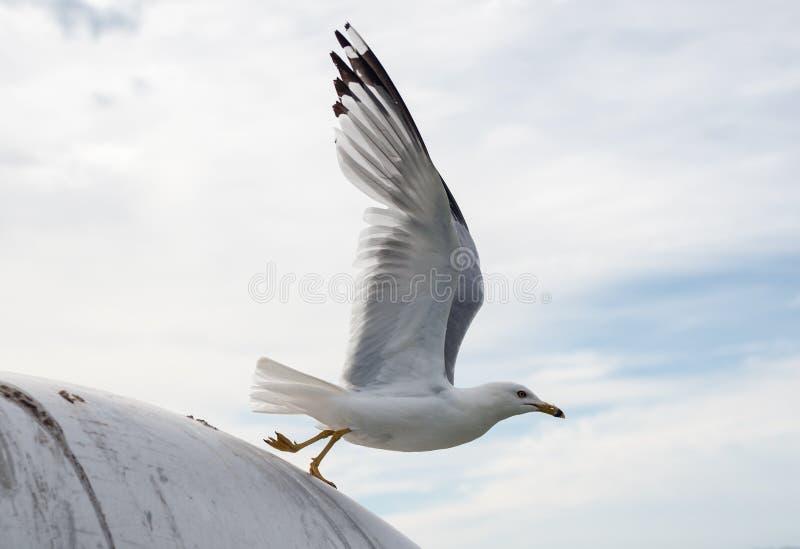 Gabbiano che decolla con le ali estese fotografia stock