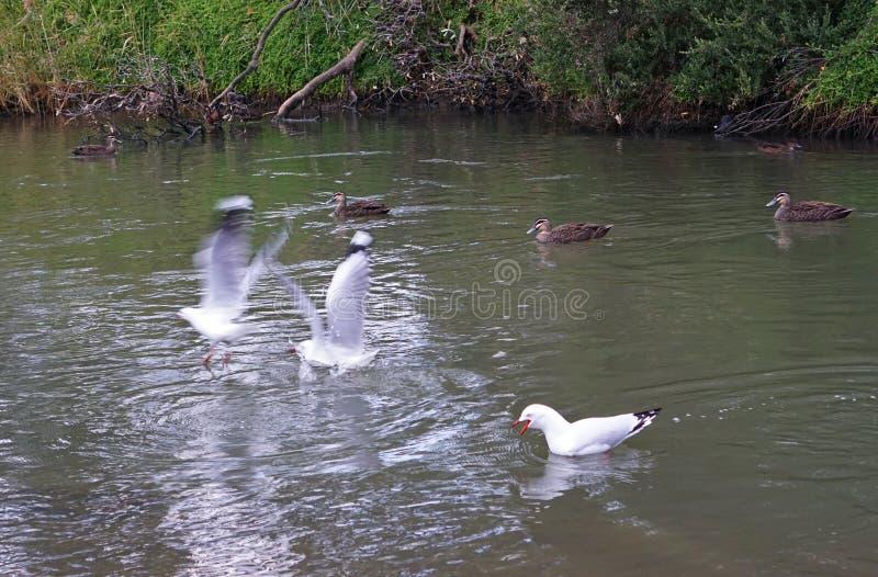 Gabbiano che grida e spaventare altri uccelli fotografia stock