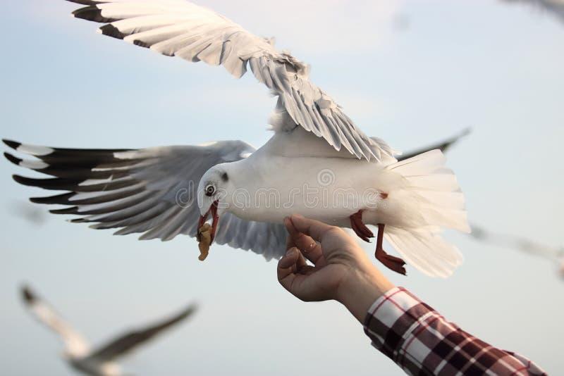 Gabbiano che mangia alimento fuori dalla mano umana del ` s Fuoco selettivo e profondità di campo bassa fotografia stock