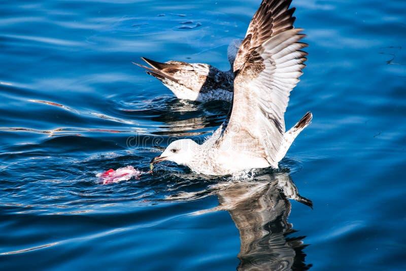 Gabbiano che mangia un pesce nel mare fotografia stock