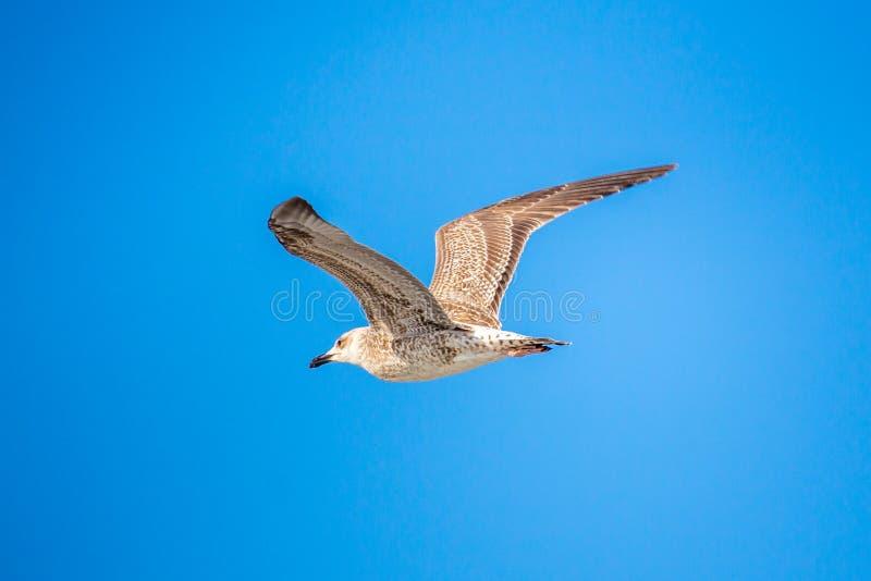 Gabbiano che pilota in chiaro cielo blu con le ali aperte fotografia stock