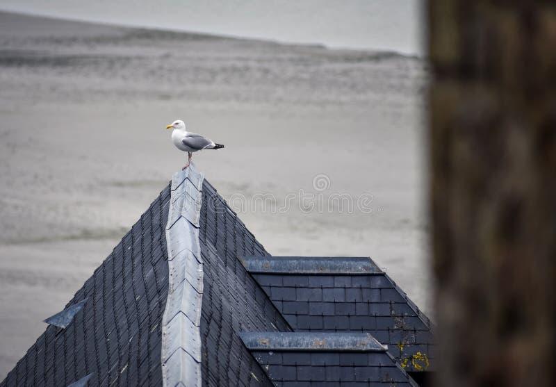Gabbiano che posa il tetto di una delle case del Mont Saint Michel france fotografia stock libera da diritti