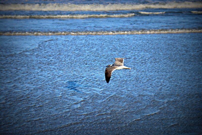 Gabbiano che sale sopra l'oceano blu immagine stock