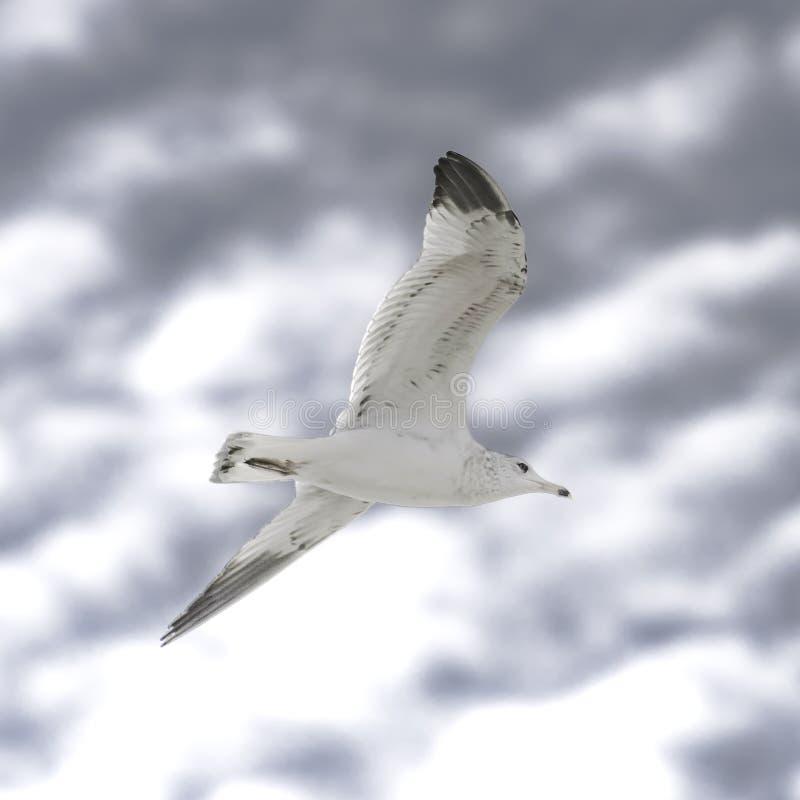 Gabbiano che sorvola cielo blu e il backround bianco della nuvola fotografia stock