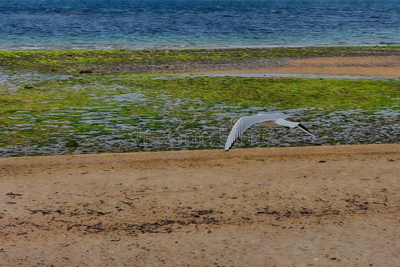 gabbiano che sorvola mare in Irlanda del Nord fotografia stock