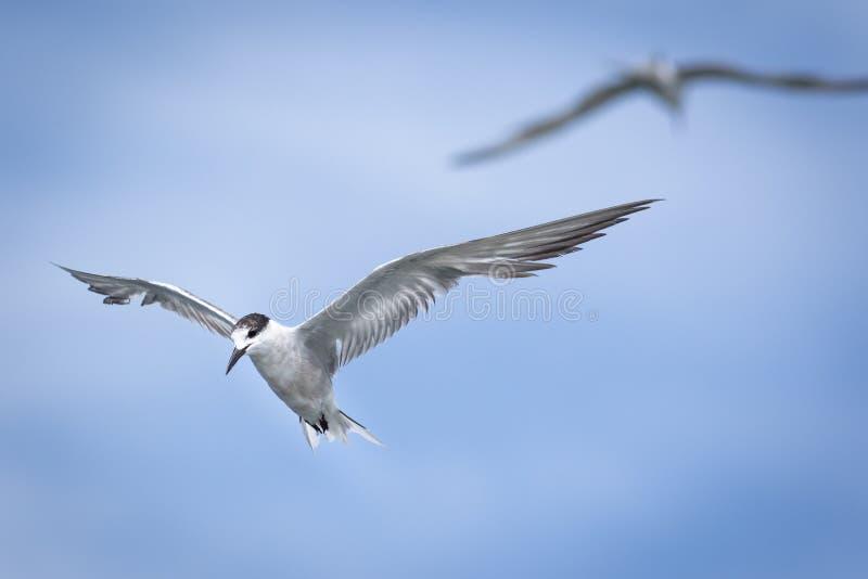 Gabbiano in cielo blu fotografia stock libera da diritti