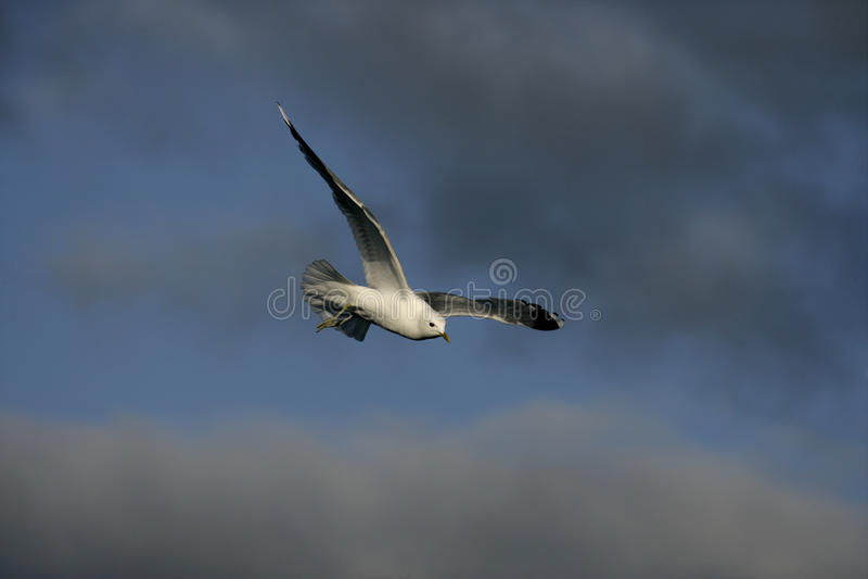 Gabbiano comune, canus di larus fotografia stock libera da diritti