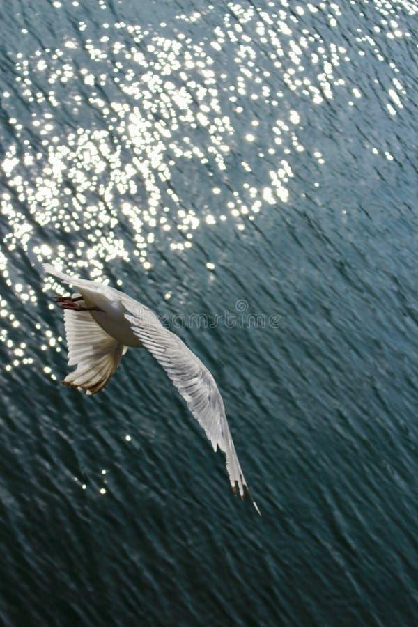 Gabbiano comune, larus Canus, tuffantesi giù verso il mare aperto da dietro con luce solare di primo mattino che brilla sull'acqu fotografie stock libere da diritti
