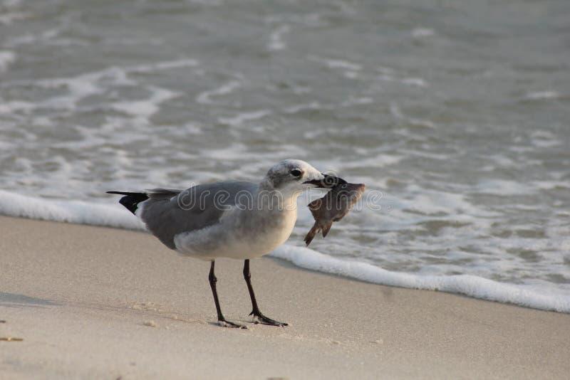 Gabbiano con il golfo del Messico di Florida della spiaggia di Panama City dell'alimento immagine stock
