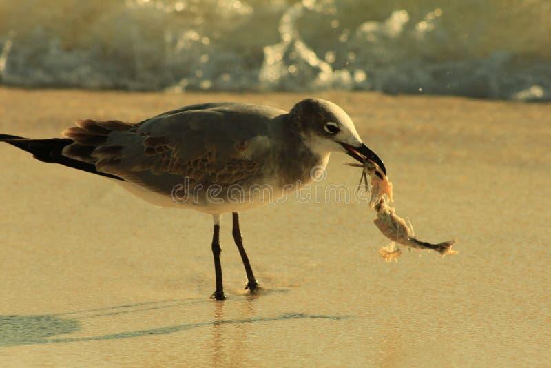 Gabbiano con il golfo del Messico di Florida della spiaggia di Panama City dell'alimento fotografia stock libera da diritti