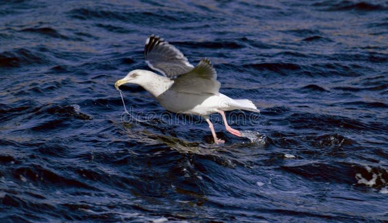 Gabbiano con il pesce in becco fotografia stock