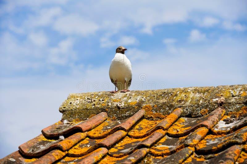 Gabbiano con testa nera appollaiato su un tetto, Gloucestershire fotografia stock libera da diritti