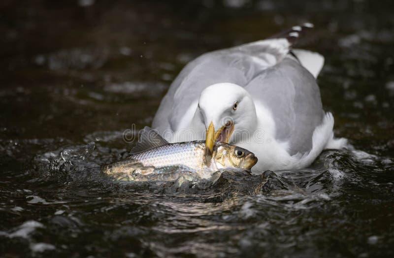 Gabbiano con un pesce fotografia stock