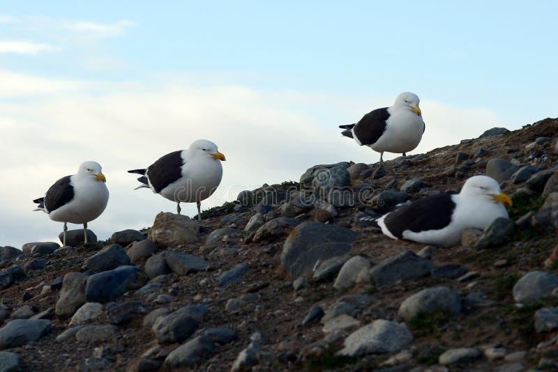 Gabbiano del fuco, anche conosciuto come il gabbiano domenicano, annidante al santuario del pinguino su Magdalena Island nello St immagini stock libere da diritti
