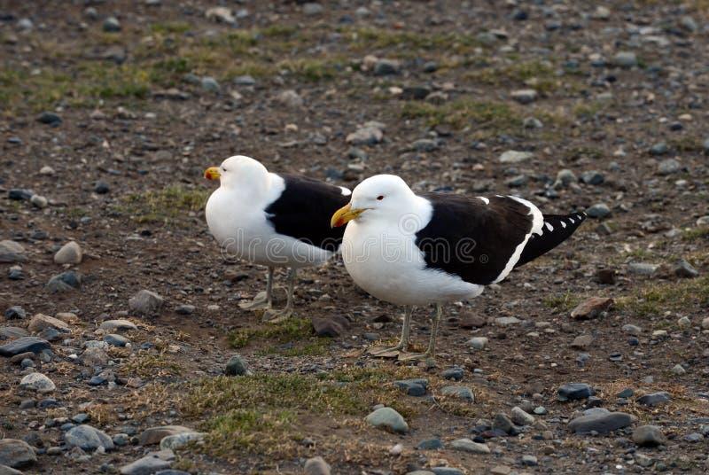 Gabbiano del fuco, anche conosciuto come il gabbiano domenicano, annidante al santuario del pinguino su Magdalena Island nello St fotografia stock