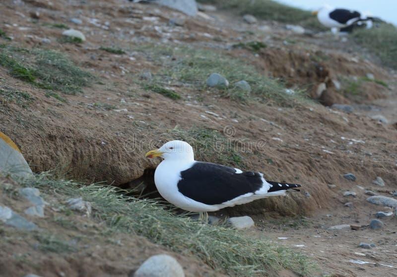 Gabbiano del fuco, anche conosciuto come il gabbiano domenicano, annidante al santuario del pinguino su Magdalena Island nello St fotografie stock