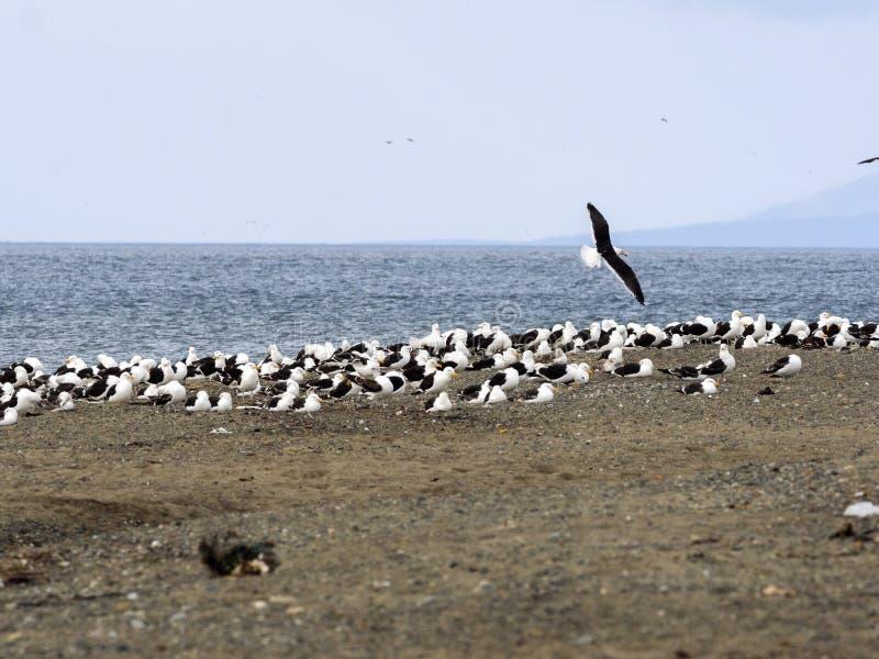 Gabbiano del fuco dei banchi, larus dominicanus, sulla costa di Punta Arenas, Patagonia, Cile immagine stock libera da diritti