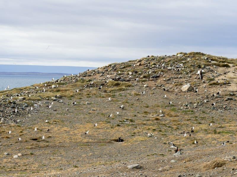 Gabbiano del fuco delle coppie, larus dominicanus, Isla Magdalena, Patagonia, Cile fotografia stock