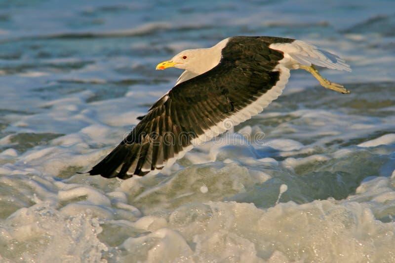 Gabbiano del kelp fotografie stock libere da diritti
