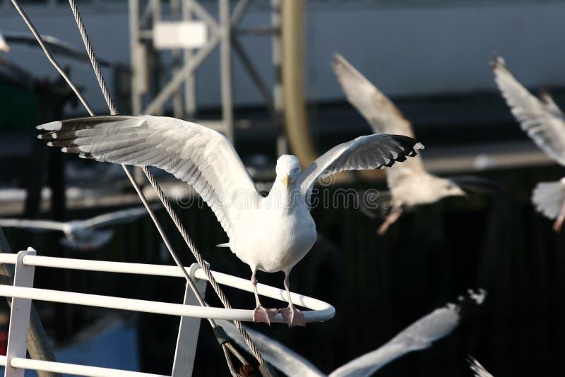 Gabbiano dell'uccello fotografia stock libera da diritti