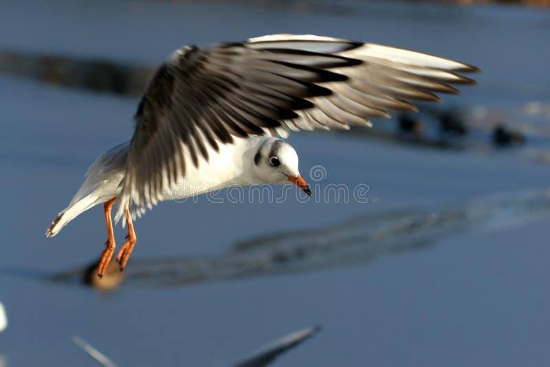 Gabbiano dell'uccello fotografie stock