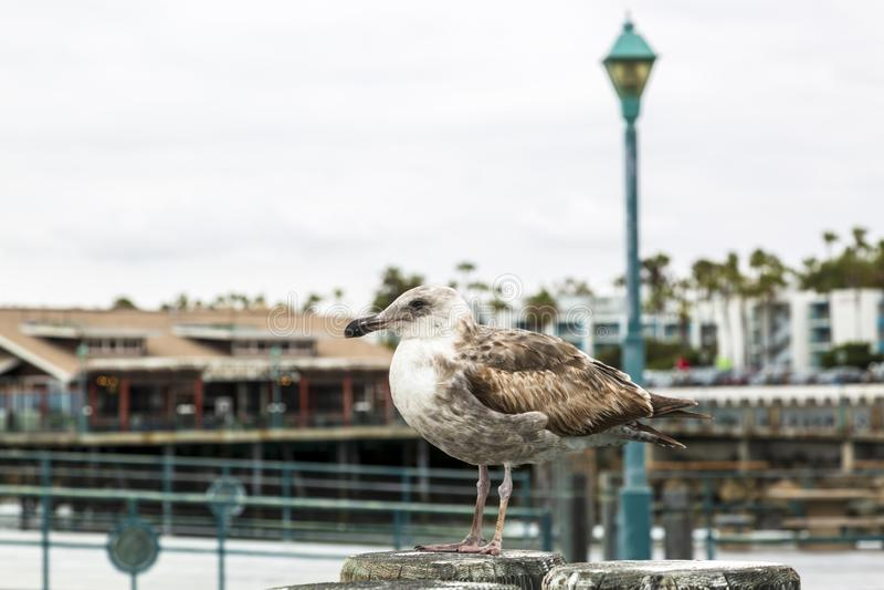 Gabbiano della guarnizione sul pilastro di atterraggio di Redondo, Redondo Beach, California, Stati Uniti d'America, Nord America immagini stock