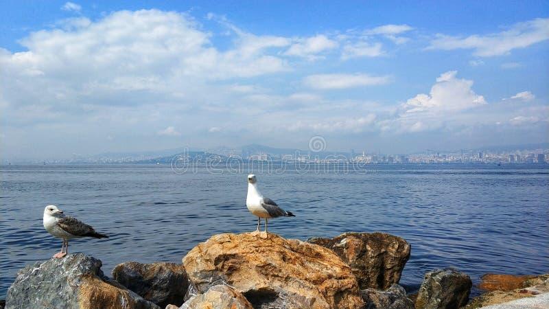 Gabbiano di Costantinopoli fotografie stock