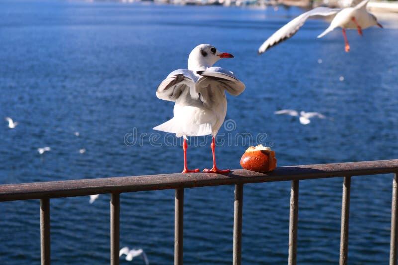 Gabbiano di Lugano fotografia stock