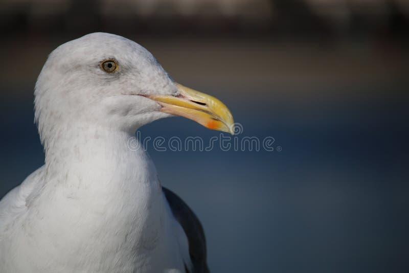 Gabbiano di mare che esamina la macchina fotografica fotografie stock libere da diritti