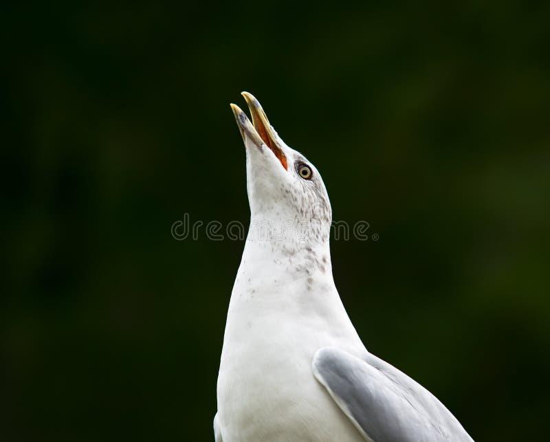 Gabbiano di mare che fa le chiamate di Noisey fotografia stock